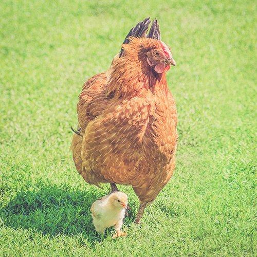 Chicken Coops & Runs